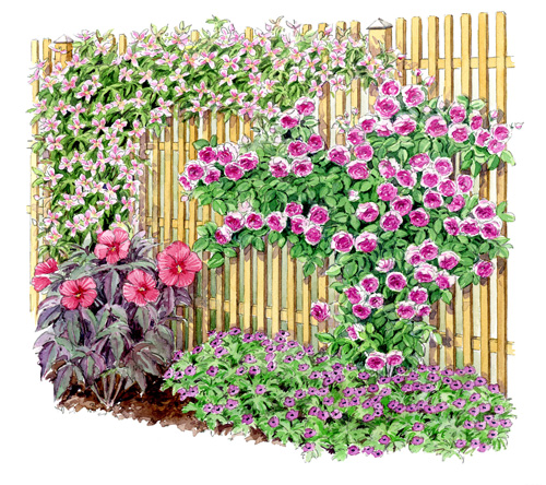 Association clematis fortis giant star un jardin qui for Habiller une cloture